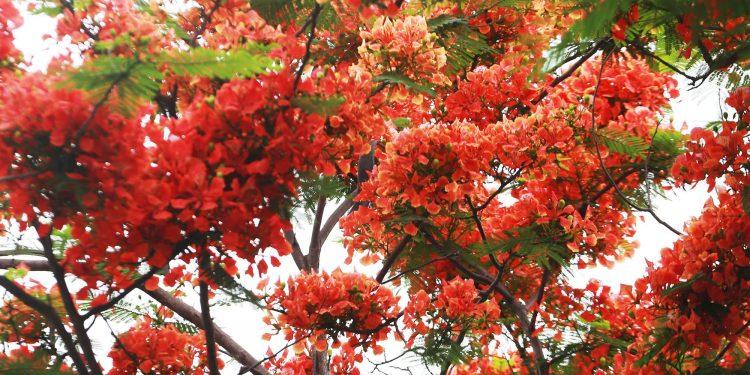Hoa phượng rực rỡ khắp các con phố Hà Nội (Ảnh sưu tầm)