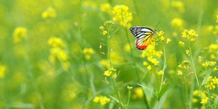 Cánh đồng hoa cải vàng (Ảnh sưu tầm)