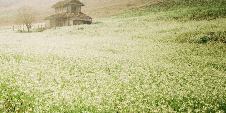 Nét thanh khiết của những mùa hoa cải trắng Mộc Châu (Ảnh sưu tầm)