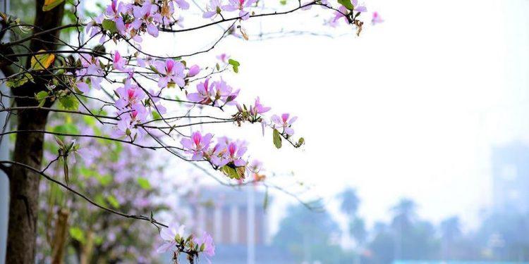 Loài hoa Tây Bắc khoe sắc giữa đất trời Hà Nội (Ảnh sưu tầm)
