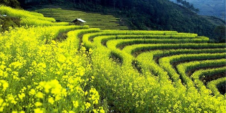 Hoa cải vàng mang màu nhớ thương của Tây Bắc (Ảnh sưu tầm)