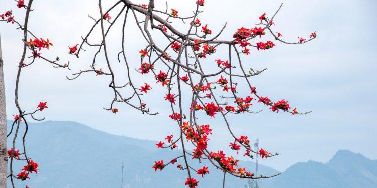 Những bông hoa Gạo rực rỡ giữa đất trời Tây Bắc (Ảnh sưu tầm)