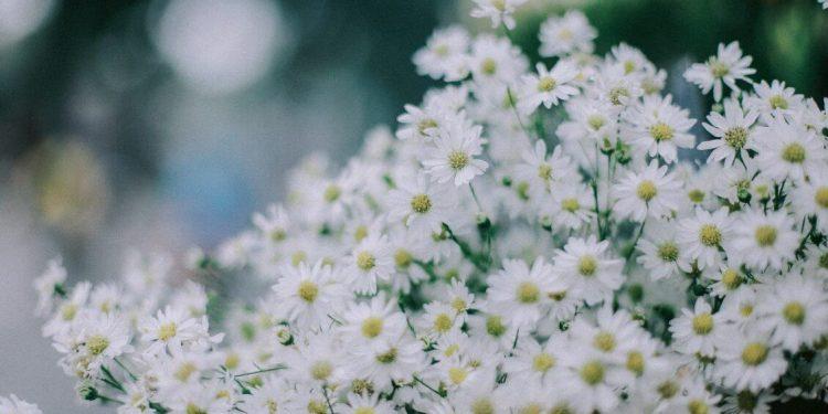 Sắc trắng tinh khôi của cúc Họa Mi (Ảnh sưu tầm)