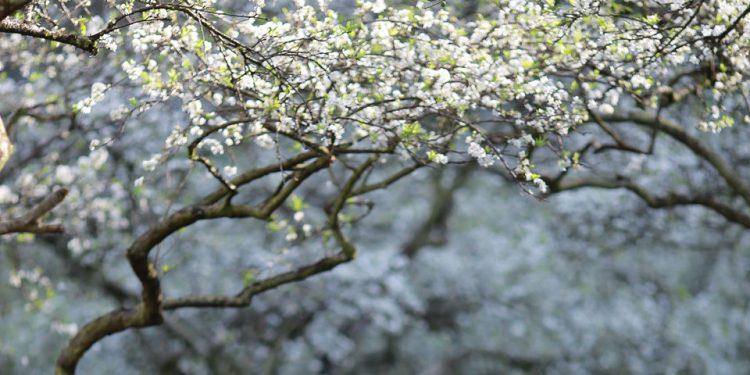 Pu Si Lung trong những mùa hoa Tây Bắc (Ảnh sưu tầm)