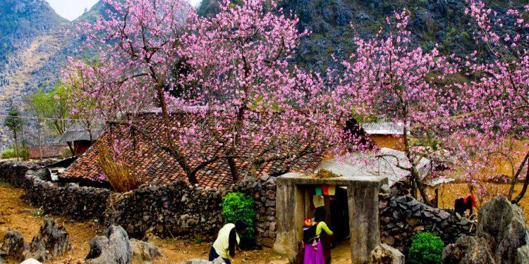Trước cửa mỗi căn nhà của người dân tộc đều có hoa Đào rừng (Ảnh sưu tầm)
