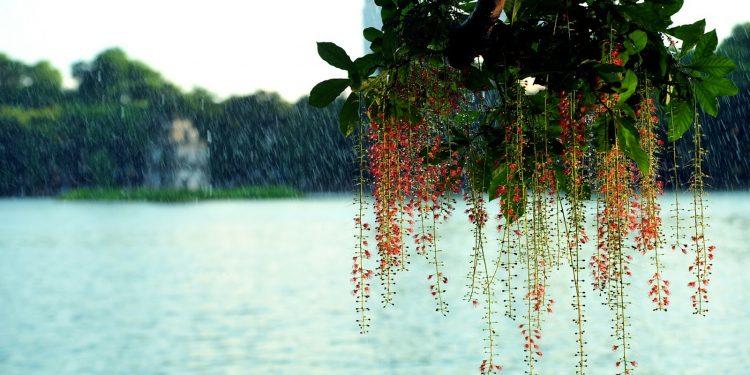 Hoa lộc vừng bên hồ Gươm Hà Nội (Ảnh sưu tầm)