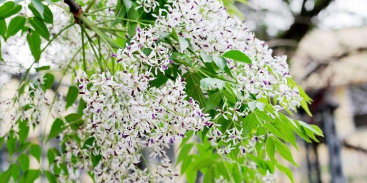 Từng chùm hoa Xoan lặng lẽ gọi mùa Xuân Hà Nội (Ảnh sưu tầm)