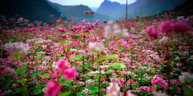 Hành trình đổi màu kỳ diệu của hoa Tam Giác Mạch (Ảnh sưu tầm)