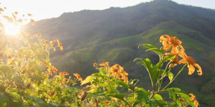 Hoa Dã Quỳ nở vàng khắp đất trời Tây Bắc (Ảnh sưu tầm)