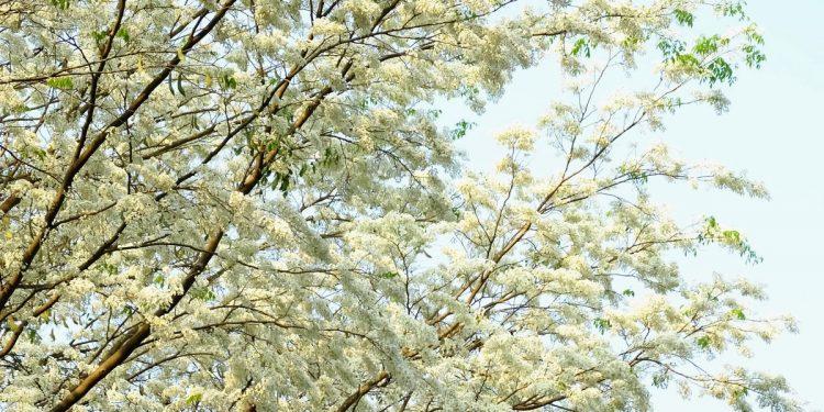 Vẻ đẹp dịu dàng, tinh khôi của hoa sưa (Ảnh sưu tầm)