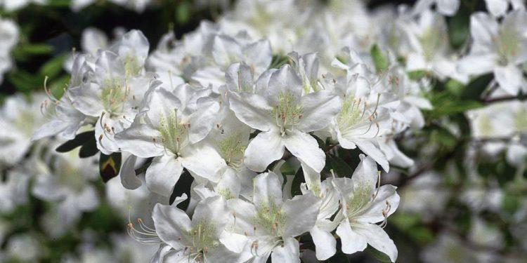 Những màu hoa Đỗ Quyên nở khắp núi rừng Tà Xùa (Ảnh sưu tầm)