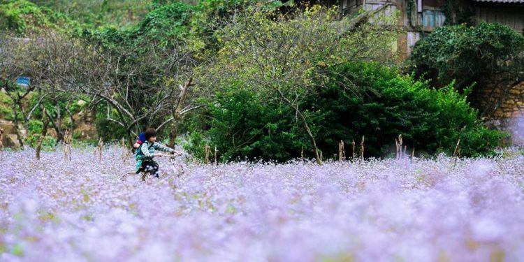 Những cánh đồng hoa đẹp nổi tiếng của Mai Châu (Ảnh sưu tầm)