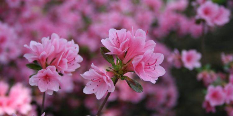 Những sắc màu khác nhau của hoa Đỗ Quyên (Ảnh sưu tầm)