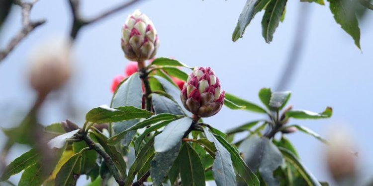 Những bông hoa Đỗ Quyên nhuộm đỏ dãy Hoàng Liên Sơn hùng vĩ (Ảnh sưu tầm)