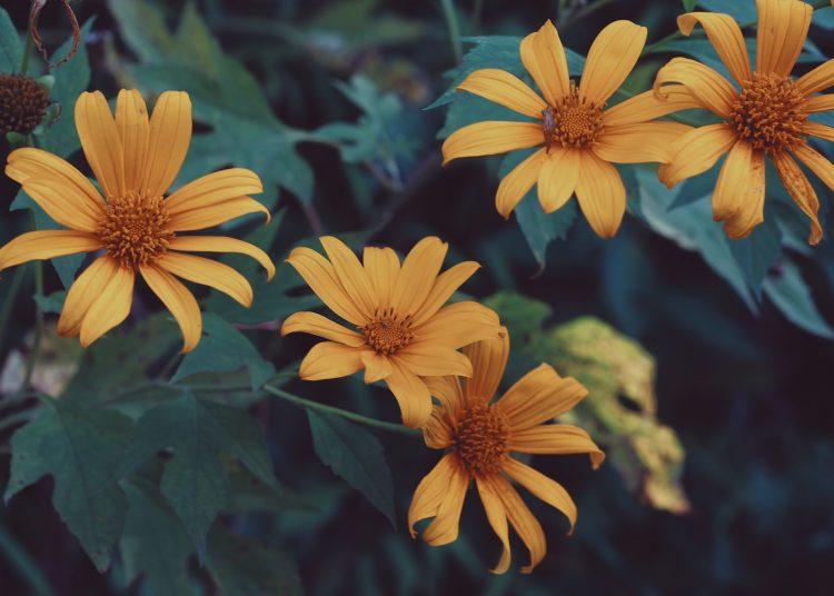 Mùa hoa Dã Quỳ tháng 12 (Ảnh sưu tầm)