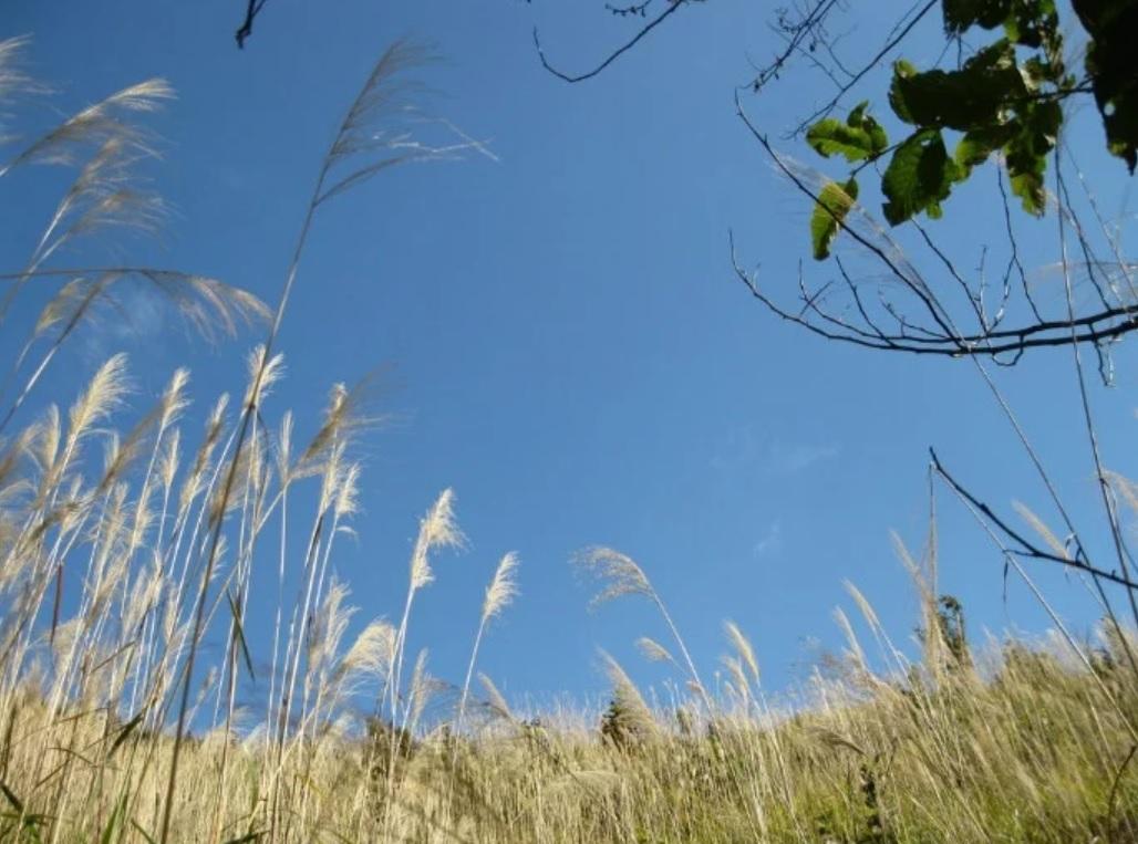Tây Côn Lĩnh gắn liền với những vạt rừng lau(Ảnh sưu tầm)