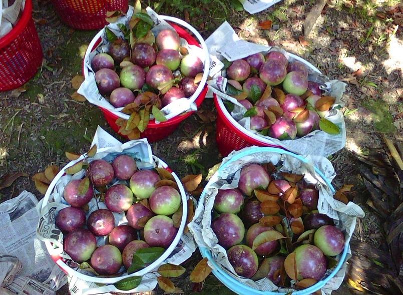 Danh sách các khu miệt vườn trái cây nổi tiếng ở miền Tây 3