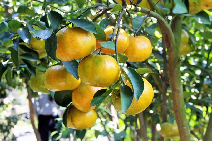 Những mùa trái cây nổi tiếng ở miền Tây 14