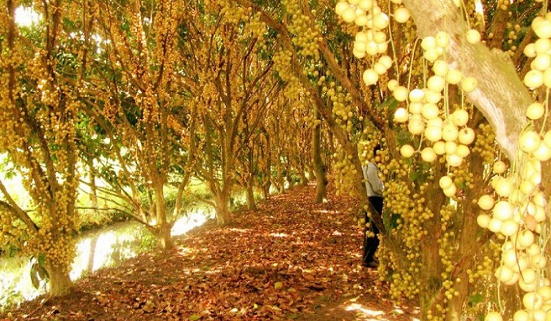 Những mùa trái cây nổi tiếng ở miền Tây 20