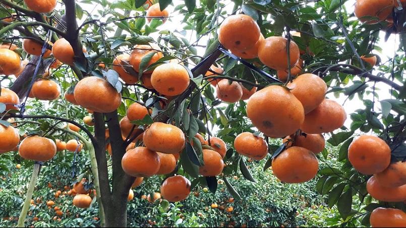 Những mùa trái cây nổi tiếng ở miền Tây 13