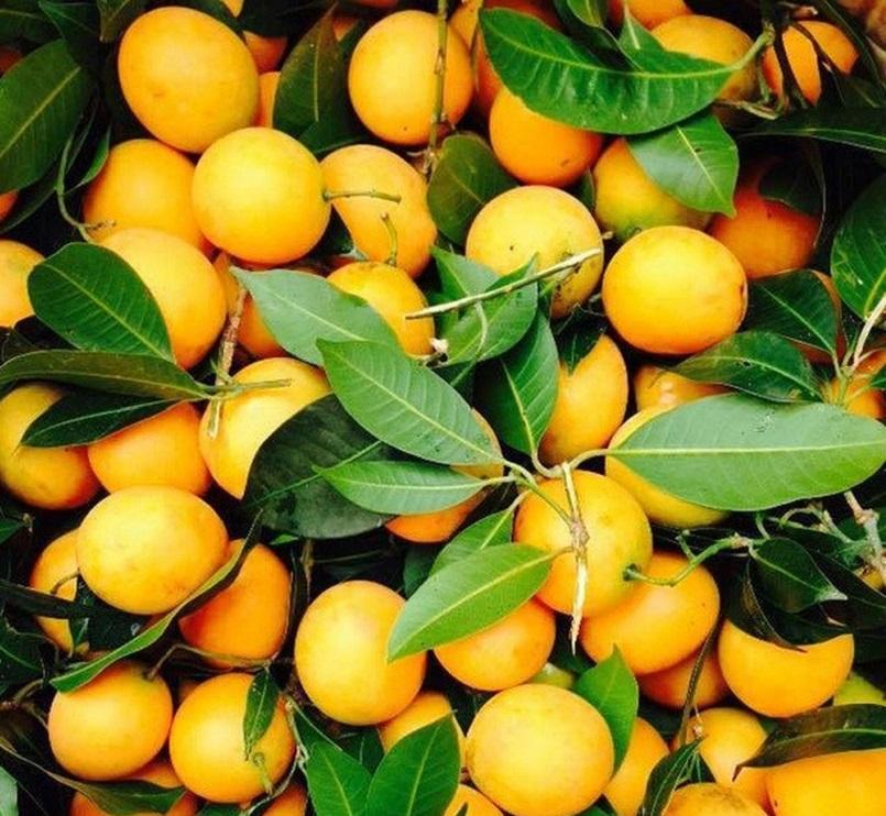Những mùa trái cây nổi tiếng ở miền Tây 12