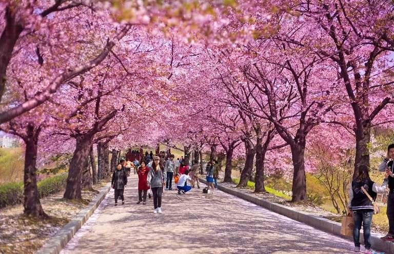 Con đường Jeonnong-ro ngập trong sắc hoa Anh Đào