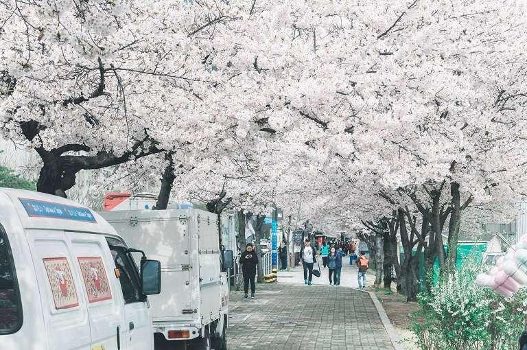 Địa điểm ngắm hoa Anh Đào ở Hàn Quốc (Ảnh sưu tầm)