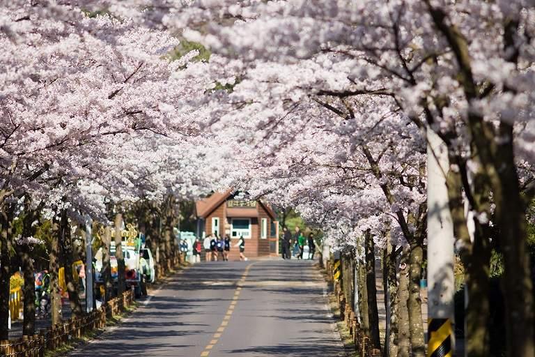 Đại học Hàn Quốc - Địa điểm ngắm hoa Anh Đào ở Hàn Quốc