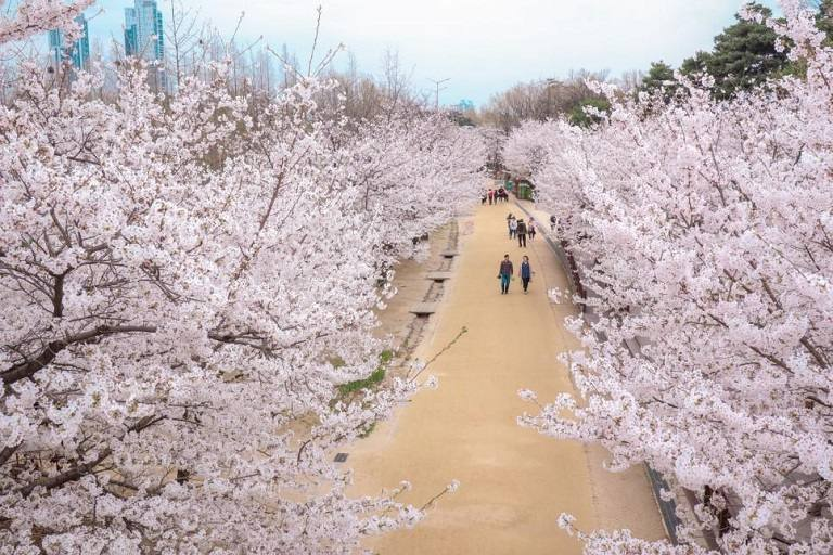 Địa điểm ngắm hoa Anh Đào trong công viên rừng Seoul