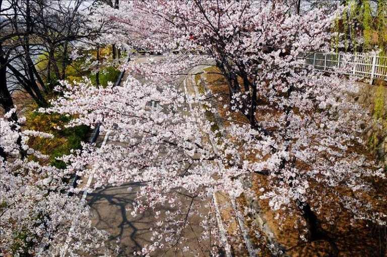 Công viên Seonyudo - Địa điểm ngắm hoa Anh Đào ở Hàn Quốc