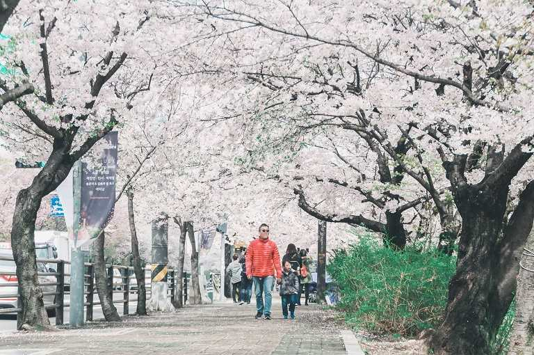 Incheon - Địa điểm ngắm hoa Anh Đào ở Hàn Quốc nổi tiếng