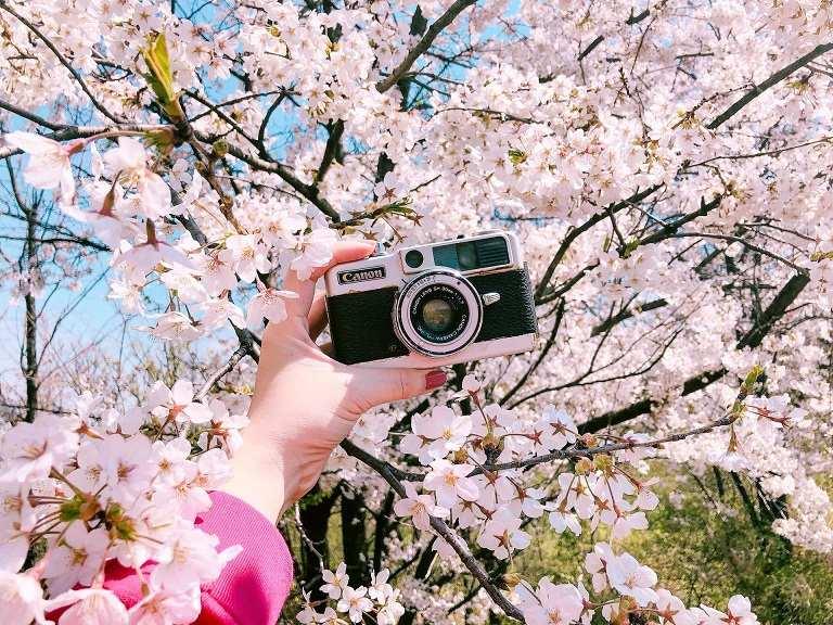 Mùa Xuân mùa của hoa Anh Đào
