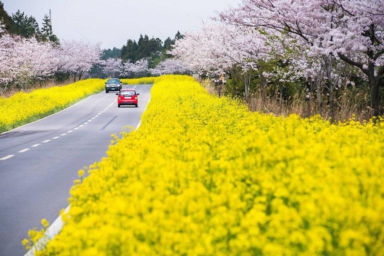 Jeju và những con đường trải dài sắc hoa Anh Đào