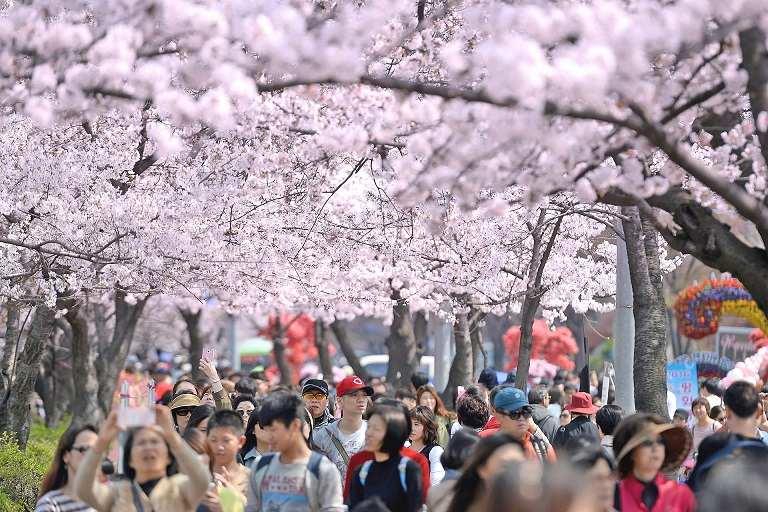 Địa điểm ngắm hoa Anh Đào ở Yeouido