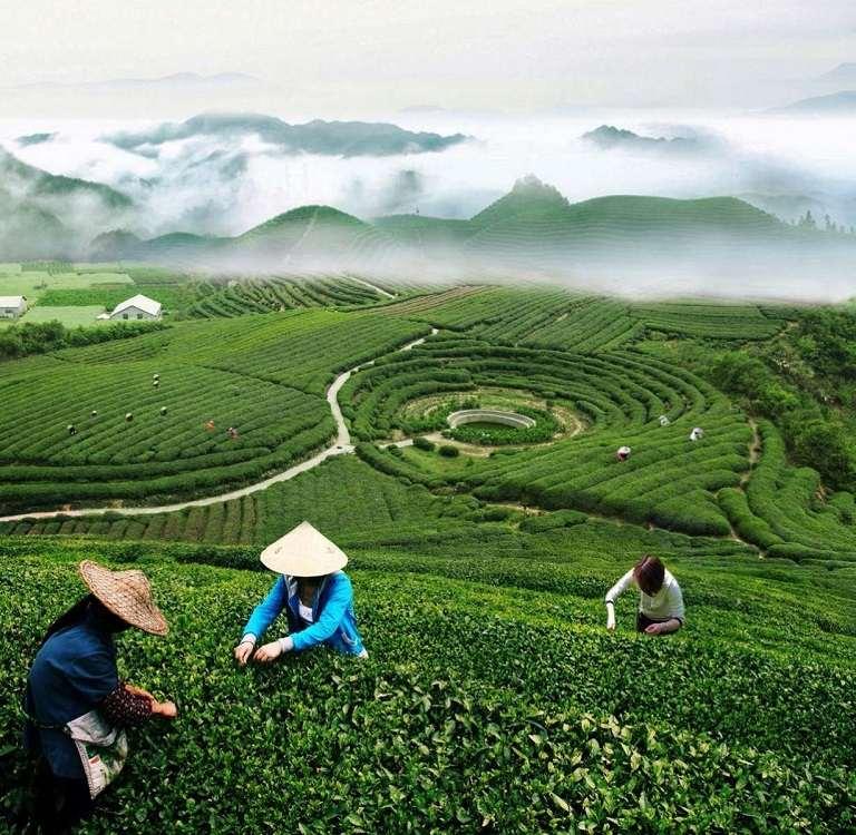 Làng chè Long Tỉnh - Địa điểm du lịch Hàng Châu