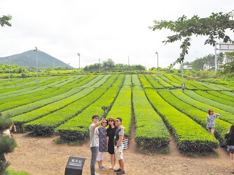 O'sulloc - Địa điểm du lịch Đảo Jeju nổi tiếng