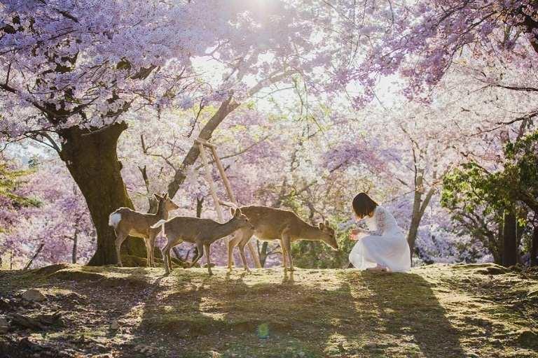 Vườn hoa Anh Đào tại công viên Nara