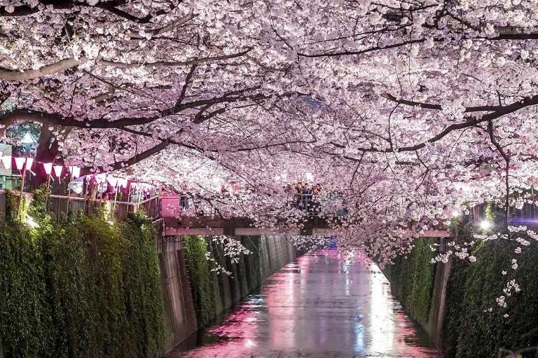 Công viên quốc gia Shinjuku Gyoen - Khu vực trồng hoa Anh Đào