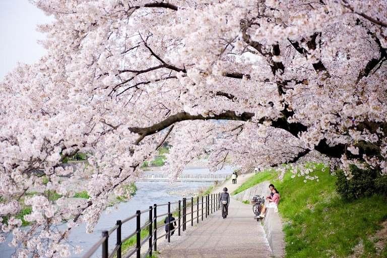 Không gian ngắm hoa Anh Đào tại công viên Arashiyama