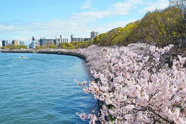 Hoa Anh Đào nở rộ đôi bờ sông Okawa