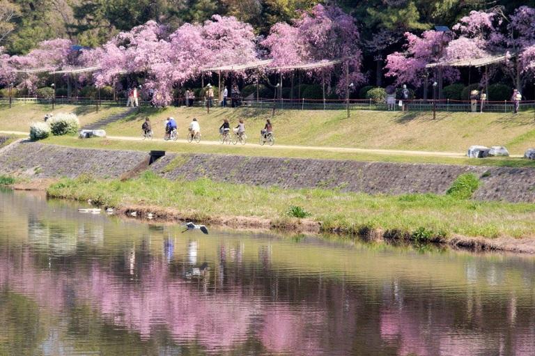 Sông Kamogawa - Địa điểm ngắm hoa Anh Đào ở Nhật Bản