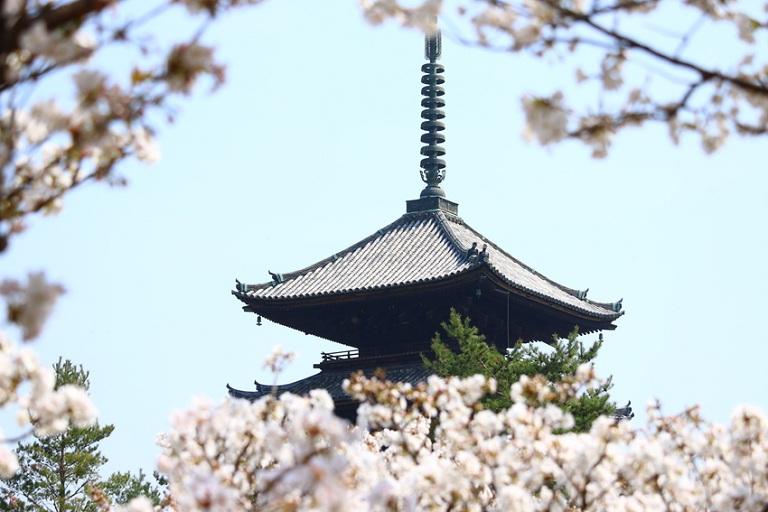 Chùa Ninaji - Địa điểm ngắm hoa Anh Đào ở Nhật Bản