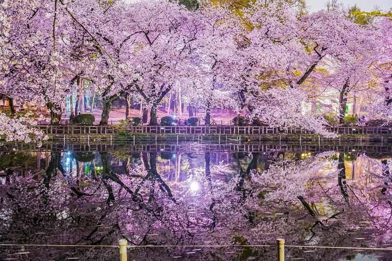 Hoa Anh Đào ở công viên Inokashira Onshi