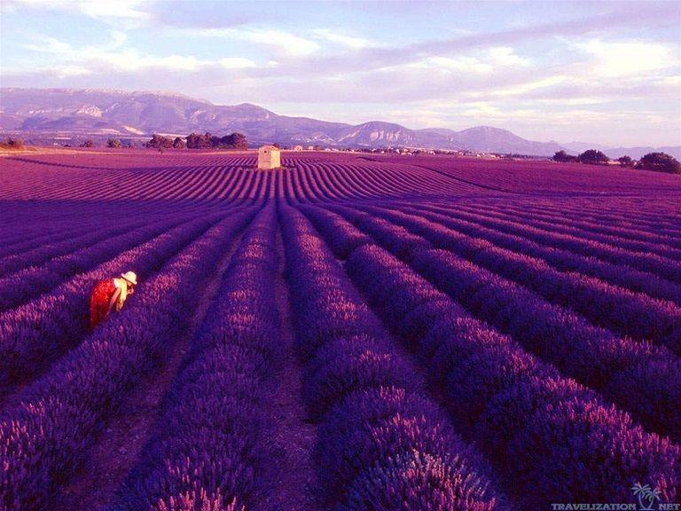 Cánh đồng oải hương tại Provence